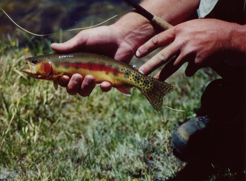 Trout, Golden - Golden Trout fishing high up in the Sierra Nevada's...photos submitted by Scott Flotre Napa, California. -SportfishWorld &copy Copyright 2003 All rights reserved